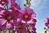 stock photo of hollyhock  - Hollyhock in an empty street in a village on Ile d - JPG