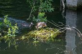 picture of grebe  - Great Crested Grebes  - JPG