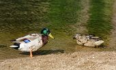 stock photo of male mallard  - Male and female Mallard ducks  - JPG
