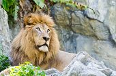 image of mountain lion  - Male Lion rest on rocky of mountain - JPG