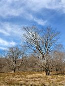 stock photo of denude  - A couple of beeches in a forest in Santiago mount - JPG