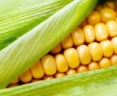 stock photo of corn cob close-up  - Sweet Corn closeup - JPG