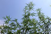 foto of psychodelic  - Hign green cannabis plant on the garden - JPG