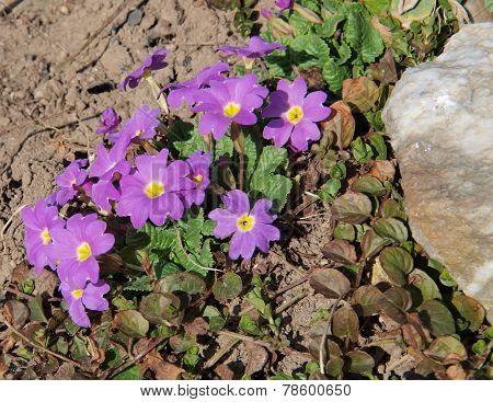 Cowslip (primula Veris, Also Popularly Primrose Herb St.. Petra)