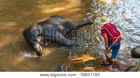 Thai Young Elephant Was Take A Bath With Mahout