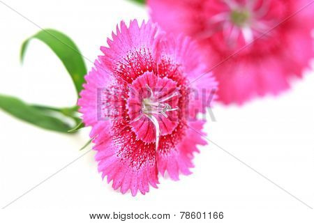 Close up shot of two dianthus flowers