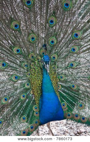 portrait, Indian blue Peafowl
