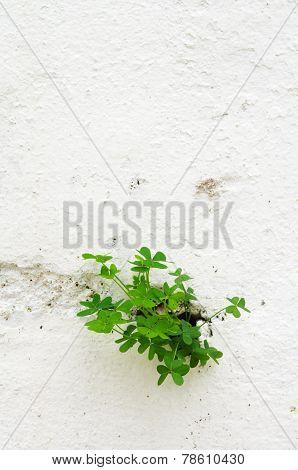 Clover Plant Breaking Through A Wall