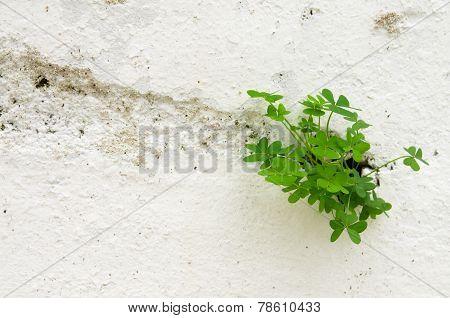 Three Leaf Clover Breaking Through A Wall