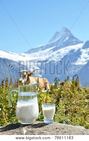 Jug of milk against herd of cows. Jungfrau region, Switzerland