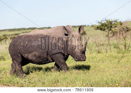 Rhino Wildlife