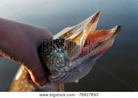 Northern pike in fisherman's hand, small depth of field