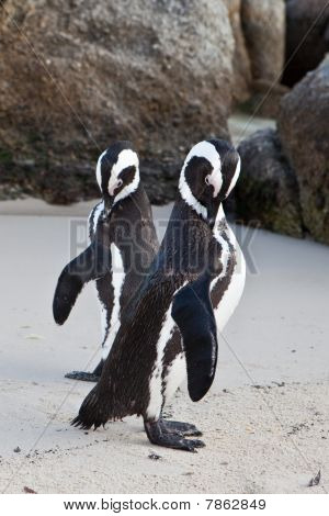 Two Boulders Penguins Preening, Cape Town, South Africa