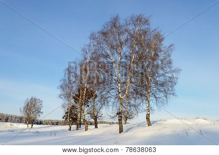 Bare Birch Trees On A Hill In Wintertime