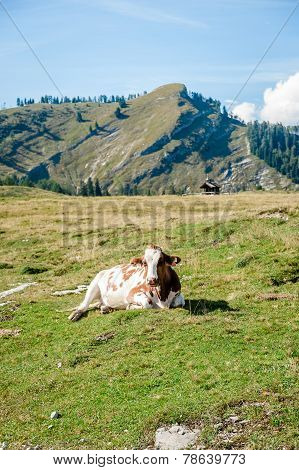 Single Cow In The Alps