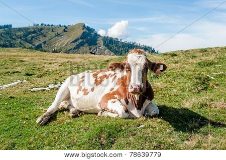 Close Up Of A Resting Cow