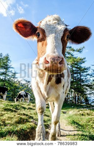 Cute Young Calf