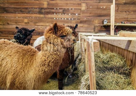Brown Alpaca In A Stable