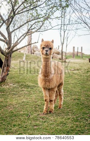 Single fluffy Alpaca