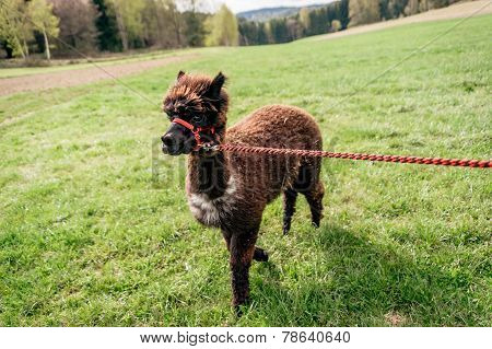Running Alpaca With Rein