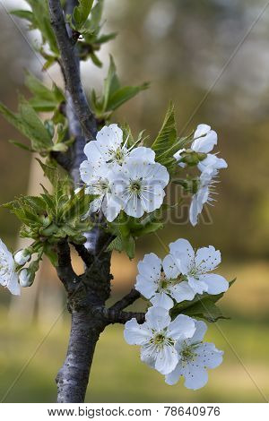 White Bing Cherry Blossoms - ?Prunus cerasus