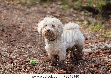 Havanese Dog Playing With Ball In A Forrest