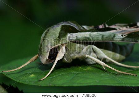 Stealth Moth