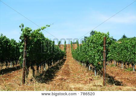 Vineyard Stripes