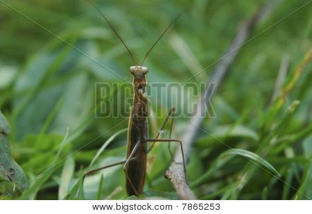 Locust In The Grass
