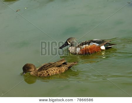 Couple of Australasian Shovelers