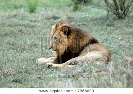 Resting male lion