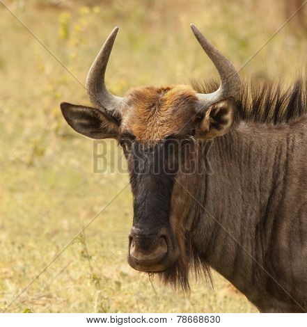 South Africa Blue Wildebeest.