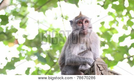 Monkey Long Tailed Macaque