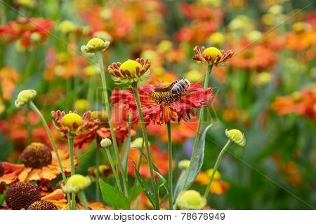 Helenium Hybridum Flowers And Honeybee