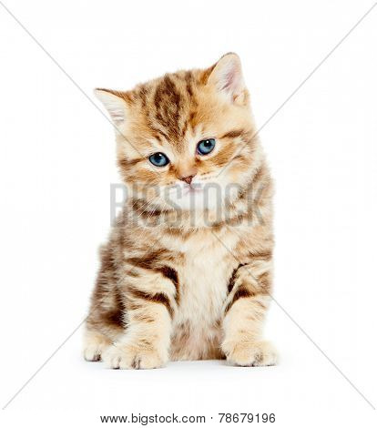 british shorthair red kitten cat