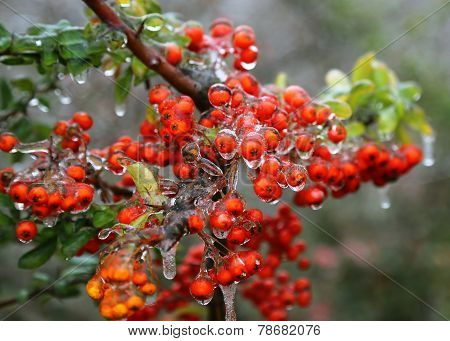 Branch With Bright Berries After Freezing Rain