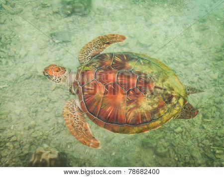 Moorea Turtle