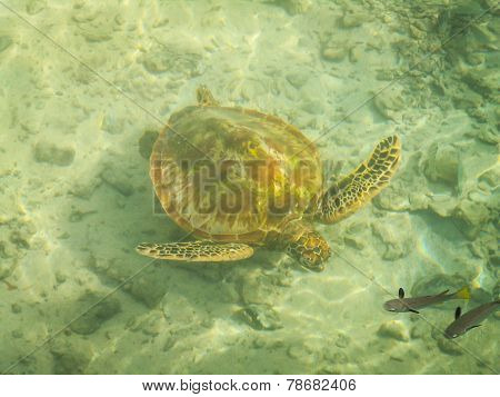 Moorea Turtle And Fish
