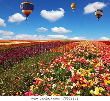 Three huge balloons flying over colorful floral field. Flowers and seeds are grown for export in Israel kibbutz fields