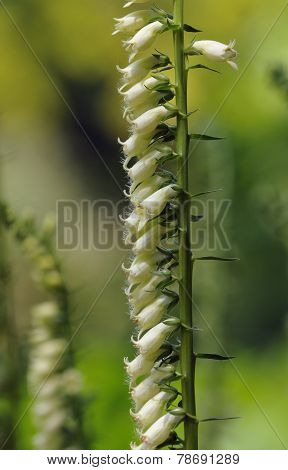Small Yellow Foxglove