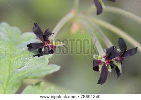 South African Geranium