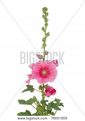 Hollyhock Flower Isolated On White Background