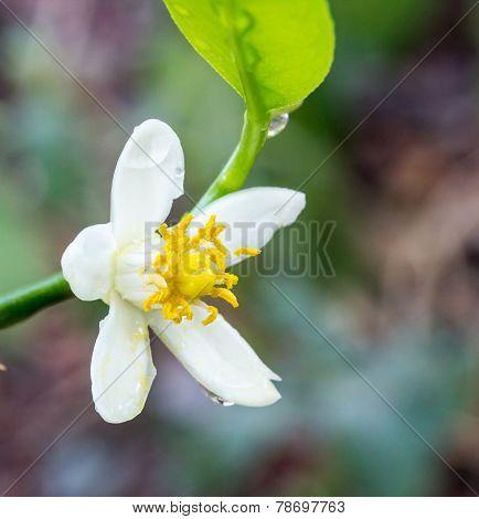 Orange Blossoms On Branch