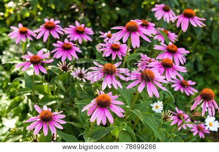 Pink Echinacea Flowers On Green Nature Background Close Up