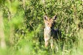 foto of jackal  - Blackback jackal animal hunting around waterhole dirt road in wildlife park reserve - JPG