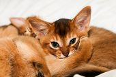 foto of ruddy-faced  - Cute little abyssinian kitten lie and looking at camera - JPG