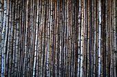 foto of linden-tree  - background of fine trees - JPG