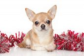 stock photo of chiwawa  - Chihuahua lying in garlands on a white background - JPG