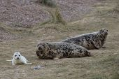 pic of sea cow  - Grey Seal Cow and Pup in the dunes on a beach [[** Note: Shallow depth of field ** Note: Soft Focus at 100%, best at smaller sizes - JPG