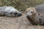 stock photo of sea cow  - Grey Seal Cow and Pup. Close up of Heads. ** Note: Shallow depth of field - JPG